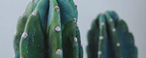 大きな多肉植物
